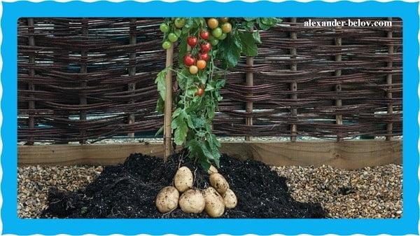 Растение TomTato два в одном